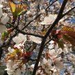 2020/05/09 春サクラと伊達紋別岳